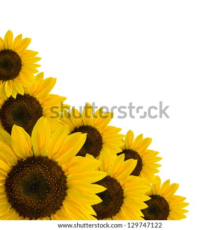 yellow sunflowers isolated on white background