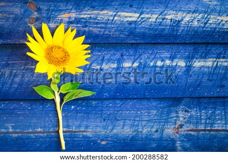 Yellow sunflowers on a painted fence - stock photo