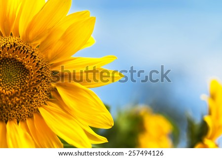 Yellow sunflowers on field and the blue sky - stock photo
