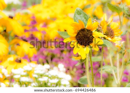 Yellow sunnflower in a flower bed of a garden