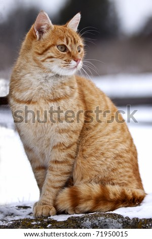 Yellow tabby cat looking for prey in winter time