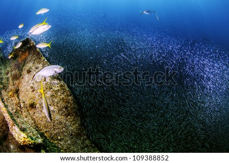Yellow tail Snapper chasing minnows in a giant bait ball. Minnows surrounding fish in Key Largo, Florida. On the Wreck of the Benwood inside the John Pennekamp State Park. - stock photo