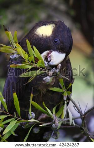 Yellow Tailed Black Cockatoo calyptorhynchus funereus - stock photo
