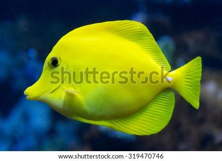 yellow tang - stock photo