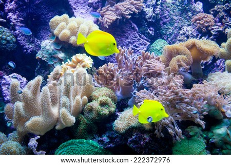 Yellow Tang. Photo, picture