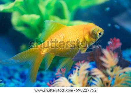 Yellow telescope or dragon eyes goldfish. The goldfish (Carassius auratus) is a freshwater fish. It is one of the most commonly kept aquarium fish.
