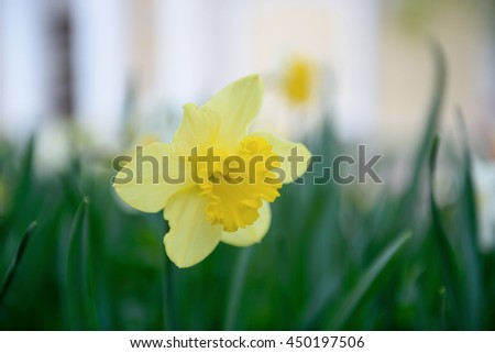 Yellow tender Daffodils in bloom closeup background - stock photo
