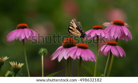 Yellow tiger swallowtail butterfly perched in a  patch of of purple coneflowers, echinacea purpurea