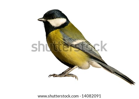 Yellow tomtit bird, isolated on white background - stock photo