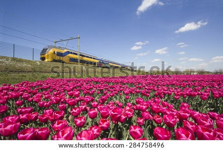 Yellow train speeds past fields of red flowers in Holland - stock photo