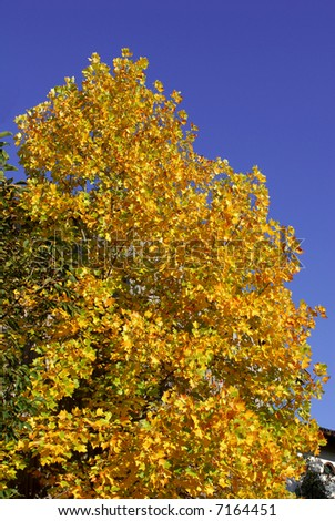 Yellow tree in autumn in front of a blue sky