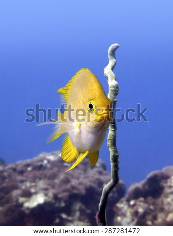 Yellow tropical fish (Zebrasoma flavescens) looking at the camera from the coral reef in blue water. Ko Tao island, Thailand. - stock photo