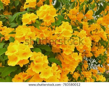 Yellow trumpetbushyellow bells flower tecoma stans stock photo yellow trumpetbushyellow bells flower tecoma stans is the official flower of the mightylinksfo Images