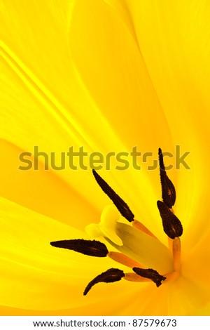 Yellow tulip closeup - stock photo