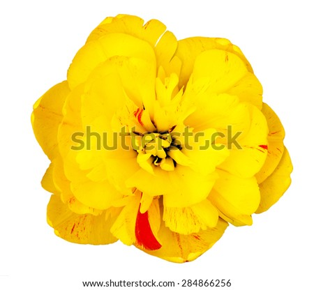 Yellow Tulip Flower Isolated on a White Background - stock photo