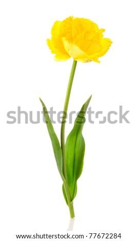 Yellow tulip isolate d on white - stock photo