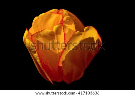 Yellow tulip isolated on a black background