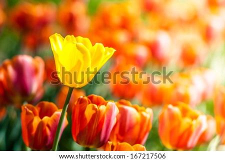 Yellow tulip surrounded by red tulips, outdoors