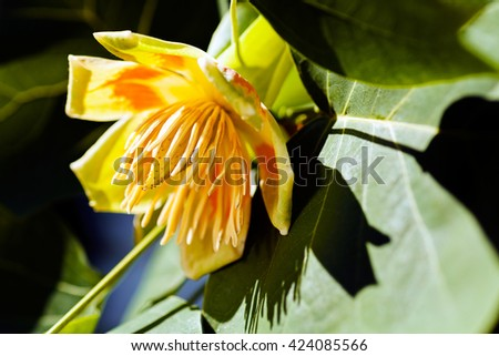 Yellow tulip tree flower on green leafs background - stock photo