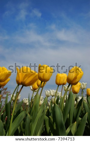 Yellow Tulips against blue sky - stock photo