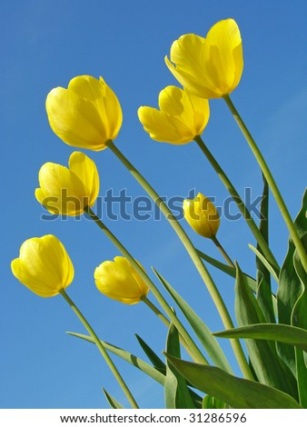 yellow tulips against blue sky with clouds