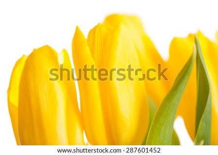 Yellow Tulips Bouquet isolated on white - stock photo