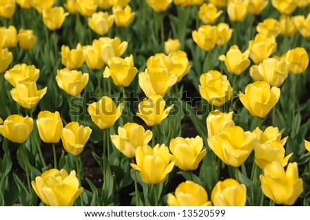Yellow tulips close-up with focus in the middle - stock photo