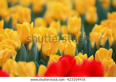 Yellow tulips from Hong Kong Flower Show