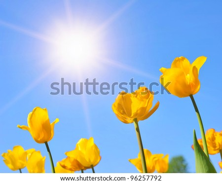Yellow tulips in the sunny day
