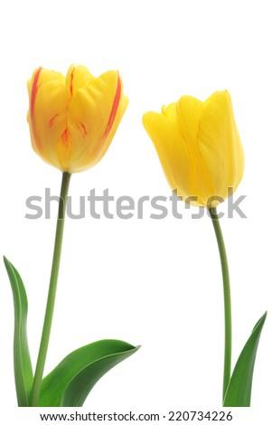 Yellow tulips isolated on white background   - stock photo