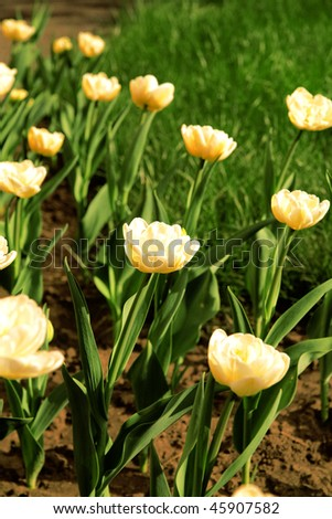 yellow tulips on a flowerbed in a light spring day