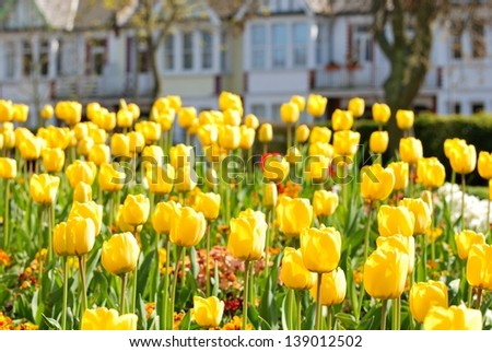 Yellow tulips on a flowerbed in a park - stock photo