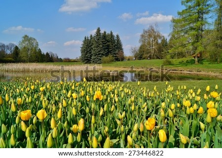 yellow tulips on the pond, spring - stock photo