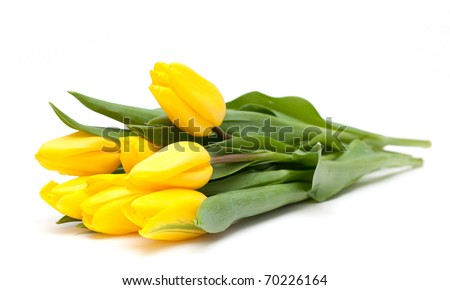 yellow tulips on white - stock photo