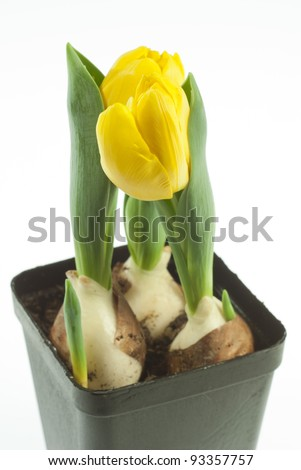 yellow tulips, white background