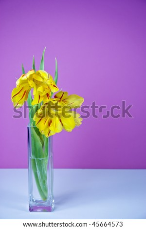 Yellow tulips with red stripe on vibrant pink background, with space on right for copy