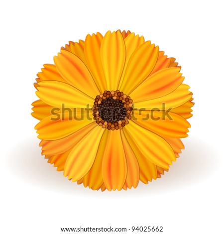 yellow vector marigold flower realistic on white background - stock photo