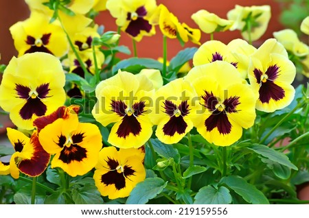 Yellow viola flowers in flower pot on balcony, close up view - stock photo