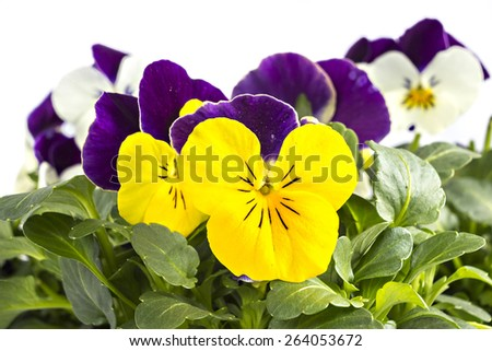 Yellow violet and white blue pansy seedlings isolated on white - stock photo