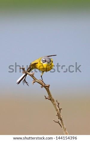 Yellow Wagtail - stock photo