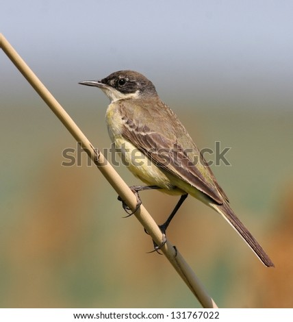 Yellow wagtail, female, perched on reed - stock photo