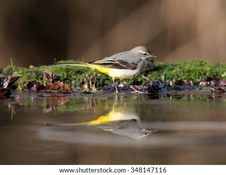 Yellow wagtail in nature at a river - stock photo