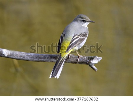 Yellow wagtail (Motacilla flava) - stock photo