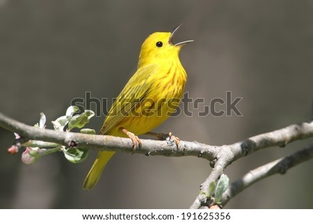 Yellow Warbler (Dendroica petechia) on a branch in early spring - stock photo