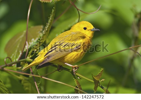 Yellow Warbler perched in lush green foliage. - stock photo