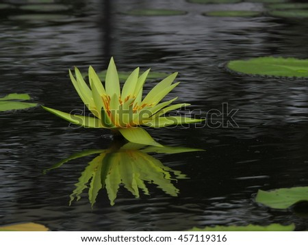 yellow water Lily and reflection in water