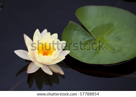 Yellow water lily in a pond with refection - stock photo