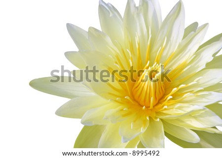 Yellow water lily isolated on white background - stock photo