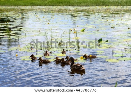Yellow Water Lily with Lotus Leaf - stock photo