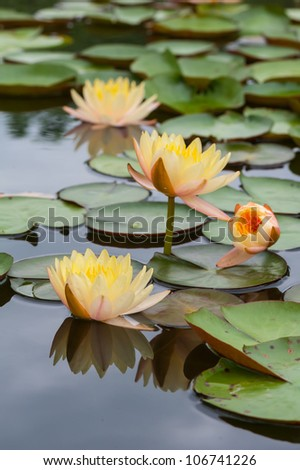 Yellow Water Lily with Lotus Leaf on Pond - stock photo